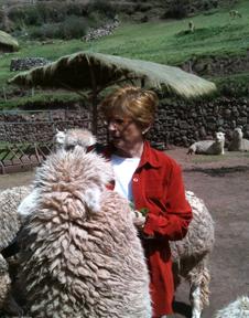 Peru feeding llamas